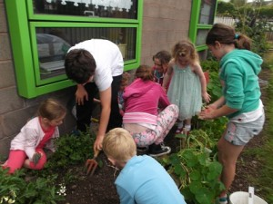 5th class & their infant buddies digging for potatoes