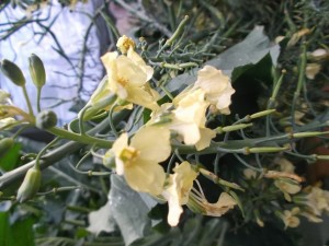 broccoli flowers and seed pods
