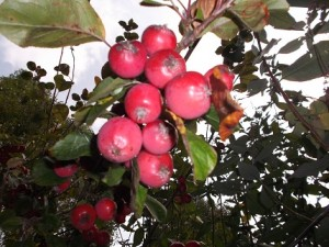 Crab apples