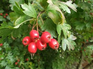 Haws on the hawthorn tree