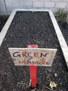 buckwheat green manure sown
