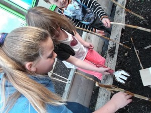 sowing broad beans